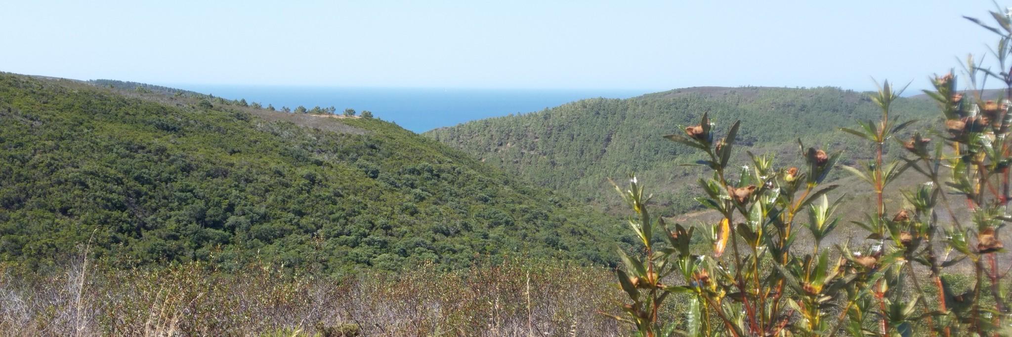 Cistes huileux et paysage